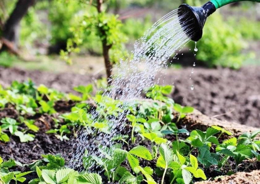 Как правильно поливать клубнику в открытом грунте с весны до осени