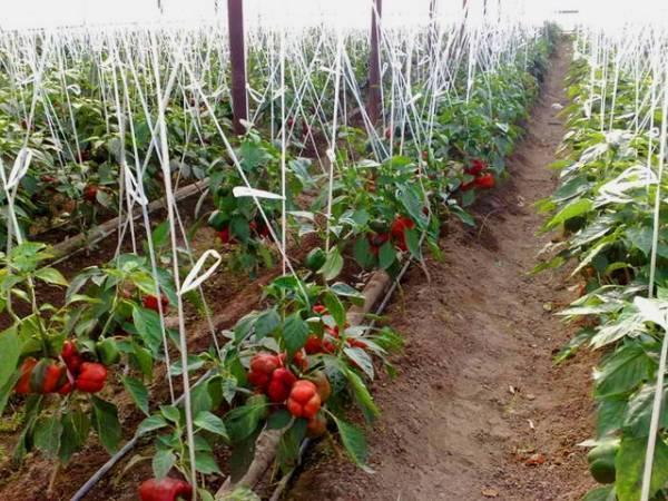 Как вырастить болгарский перец в теплице из поликарбоната: нюансы выращивания, посадки и ухода