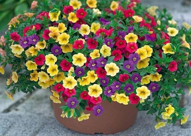 Чем подкормить петунию для обильного цветения - дрожжами, мочевиной, зола для петуний