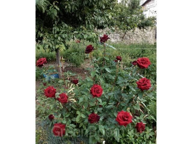 Что такое метка черной розы в магии. черные розы: что означают? черная роза и магия
