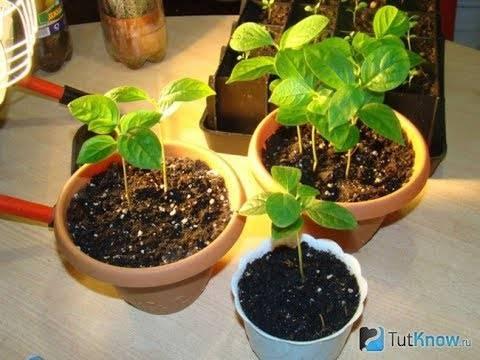 Хурма: выращивание в домашних условиях из косточки - ты-фермер