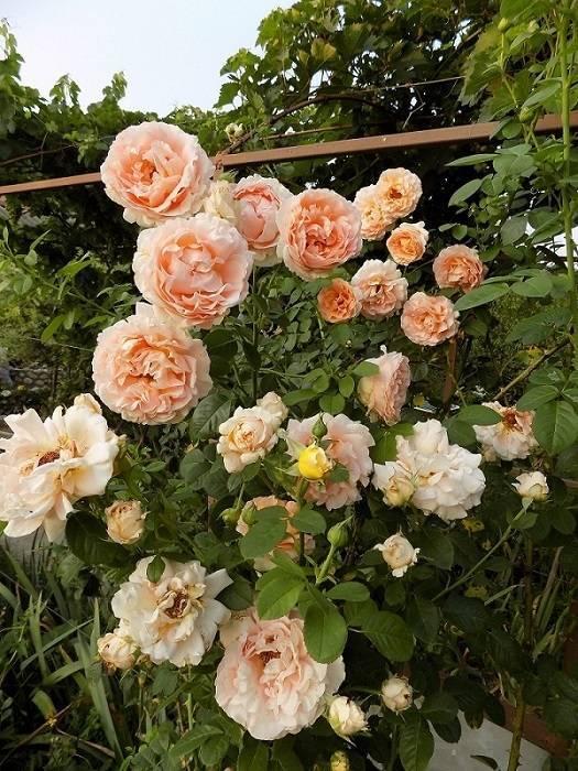 Полька роза: описание, сорта, посадка, уход