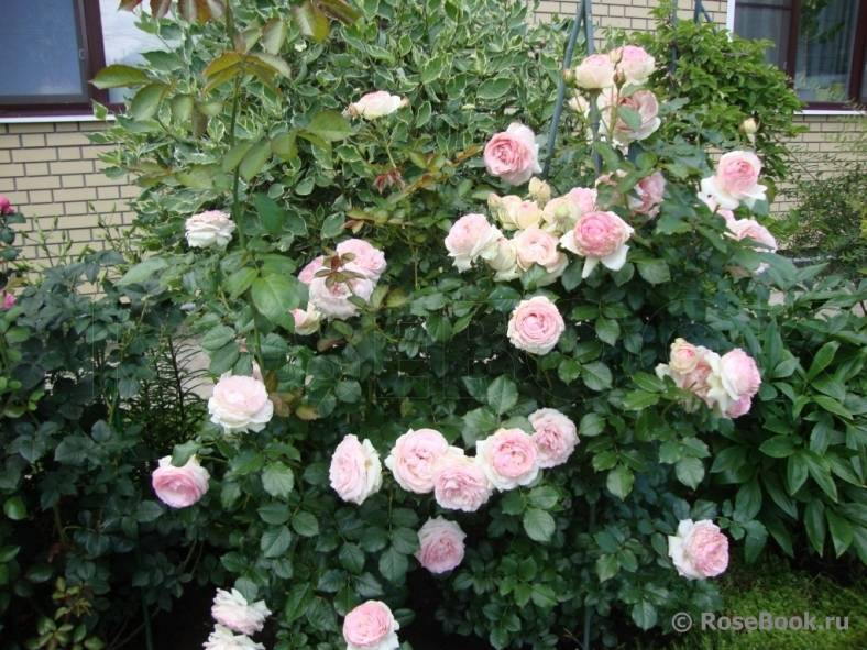 Лучшие сорта красных плетистых роз — фото-каталог