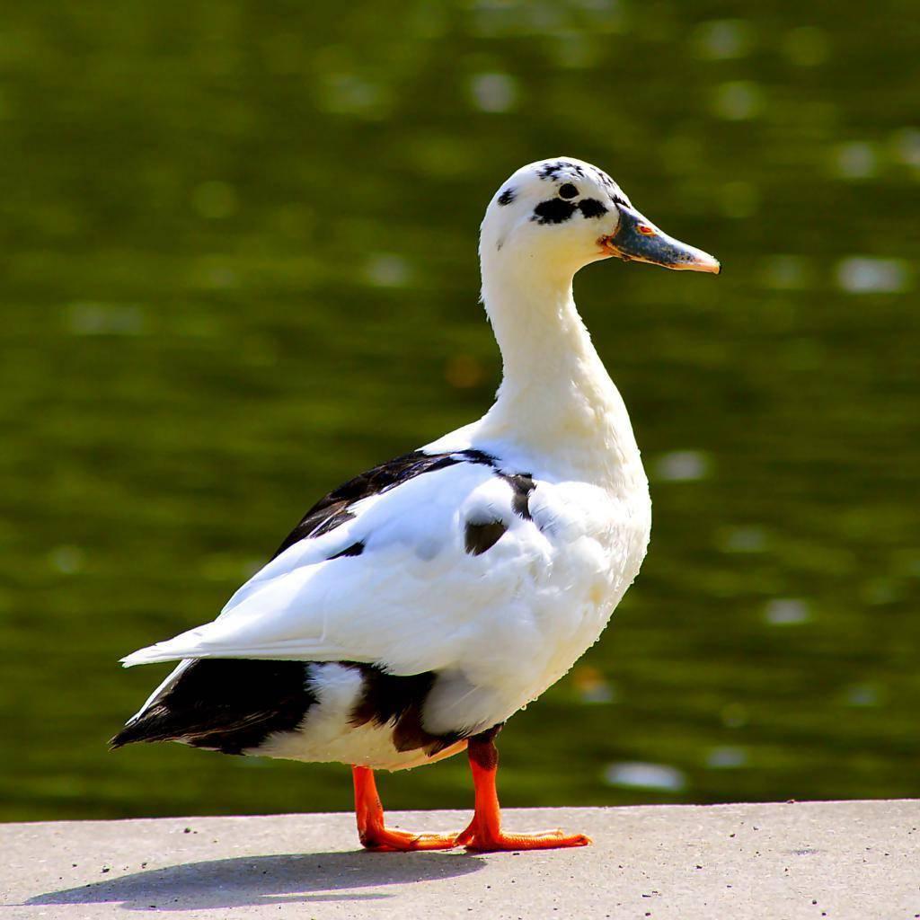 Утки шипуны: детальный обзор породы и правила её содержания