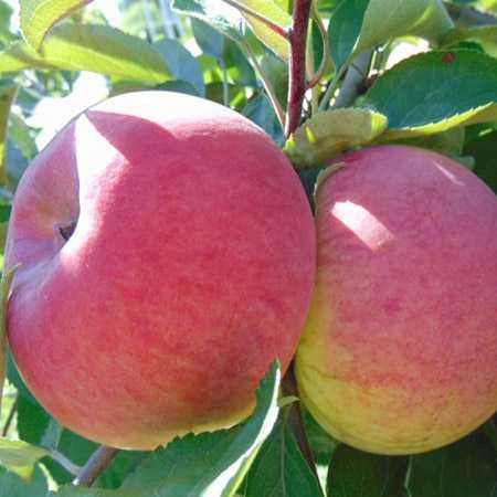Сорт яблони «орловим» — описание, фото, отзывы садоводов