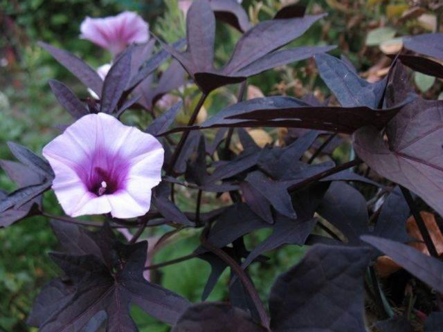 Ипомея батат: особенности выращивания и размножения