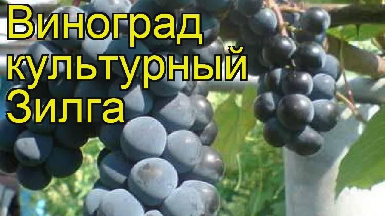 Зилга — значит, голубоватая: о сорте винограда и особенностях посадки