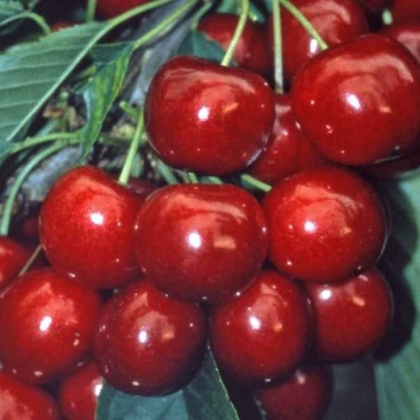 Черешня ленинградская черная: отзывы, фото, описание морозостойкого сорта