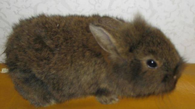 Декоративные кролики - уход и содержание, полезные рекомендации