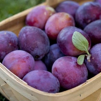 Рекордсмен по урожайности — слива сорта «анна шпет»