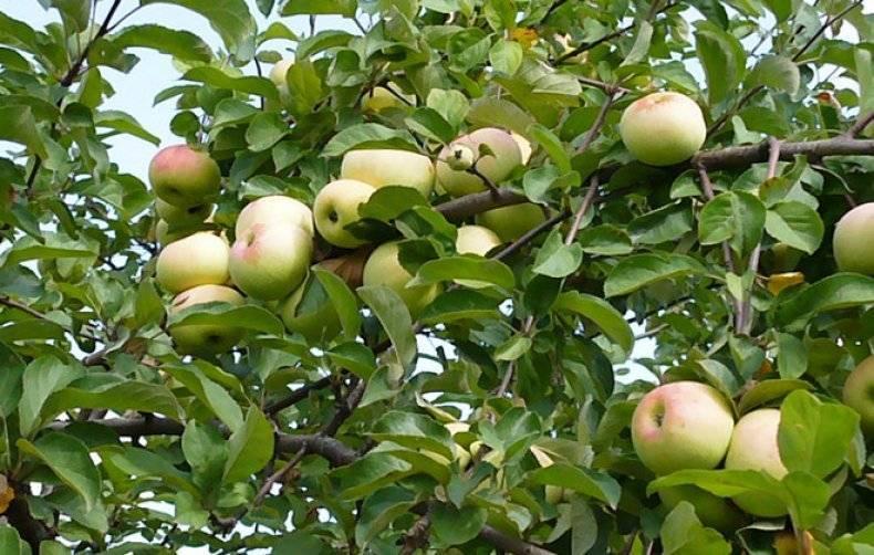 Яблоки для промышленного садоводства — сорт имрус