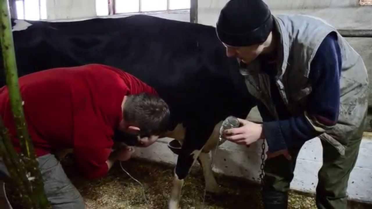 Лечение послеродового пареза у коров (что делать в случае болезни коровы)