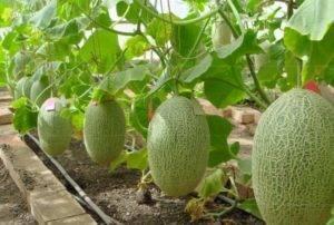 Выращивание дыни в открытом грунте: выбор сорта, посадка и уход