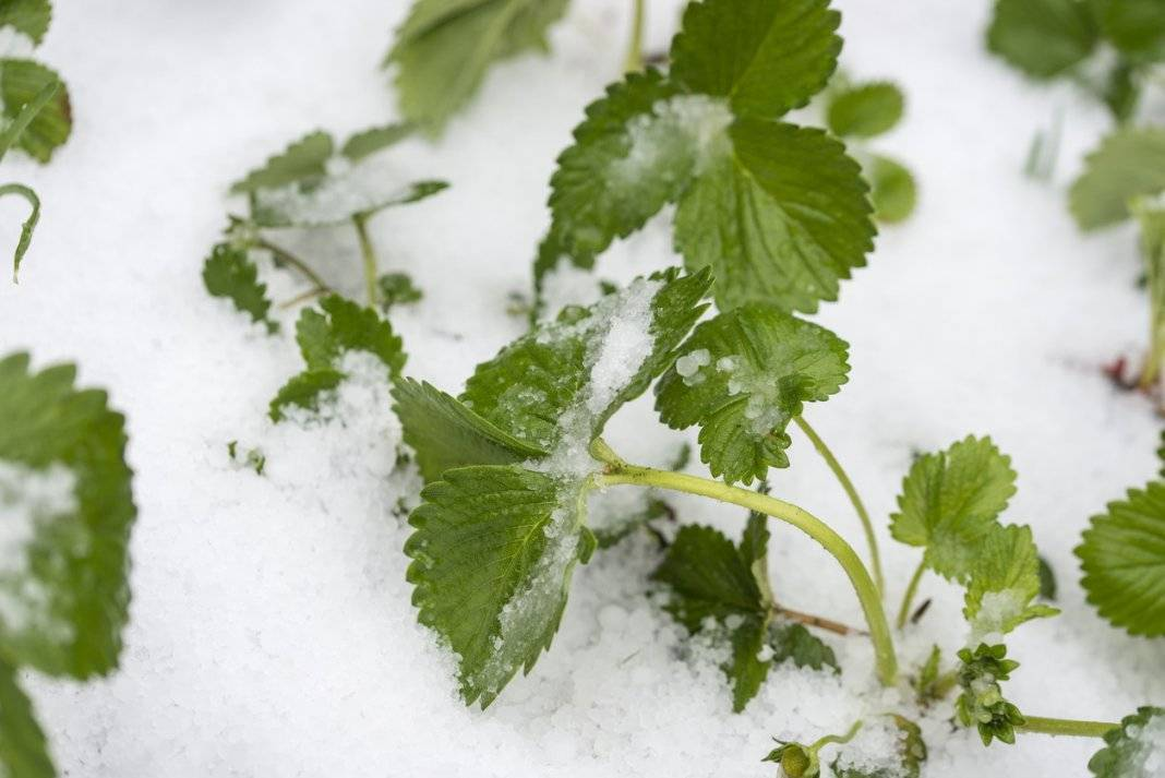 Как защитить растения от возвратных заморозков?