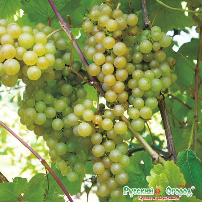 Виноград сорта платовский: гармоничный вкус, высокая урожайность и простой уход
