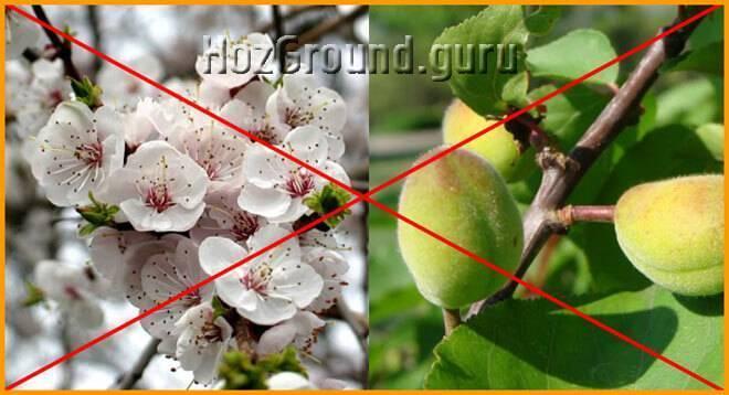 Как дозреть абрикосам в домашних условиях: как хранить и что делать с недозревшими абрикосами. правила хранения, видео и 120 фото