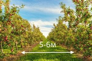 Что сажают садоводы рядом с яблоней