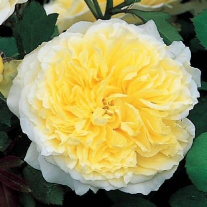 Роза пилигрим (the pilgrim) — характеристики сортового кустарника