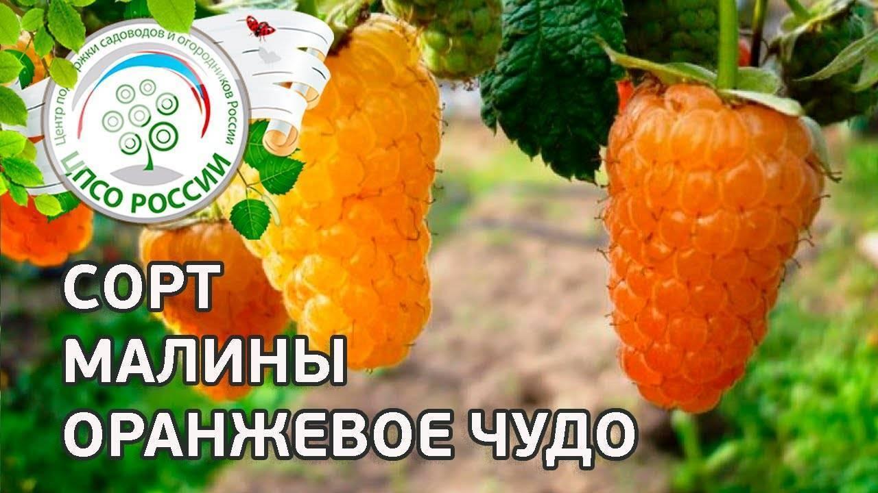 Сорт малины оранжевое чудо: описание и характеристика сорта, достоинства и недостатки, особенности посадки и ухода + фото и отзывы