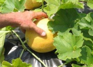 Как вырастить дыню колхозница в теплице