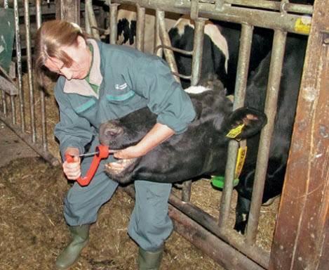 Чем опасен и как лечить послеродовой парез у коров