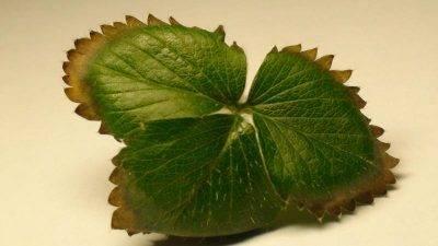 Болезни клубники: описание, признаки, лечение