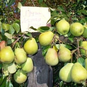 Лучшие самоплодные сорта груш: особенности выращивания