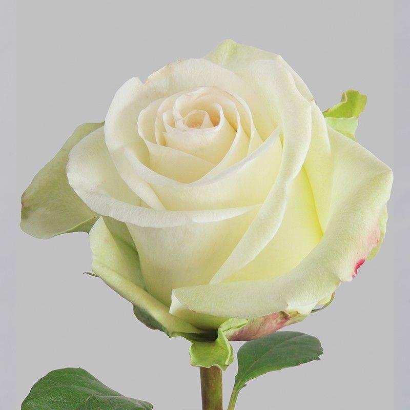 Лучшие сорта штамбовых роз | о розе