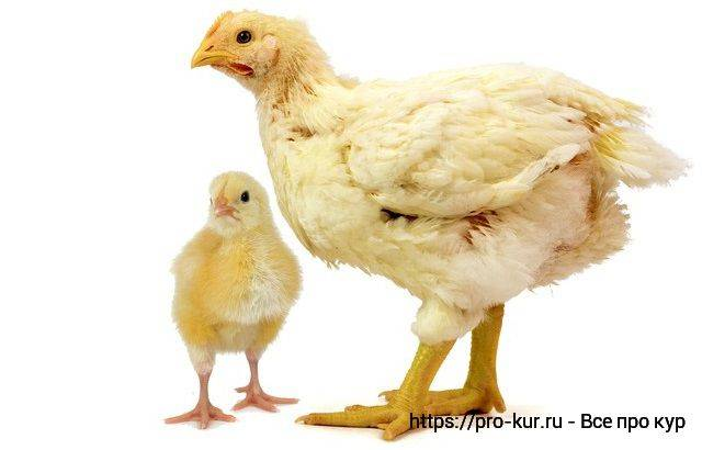 Основные нюансы выращивания кур бройлеров на мясо в домашних условиях: строим бизнес