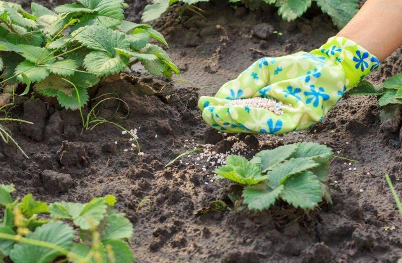 Все виды удобрения для клубники во время бутонизации и плодоношения