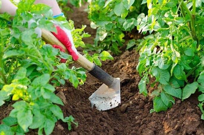 Окучивание картофеля: цель выполнения операции, особенности и сроки проведения