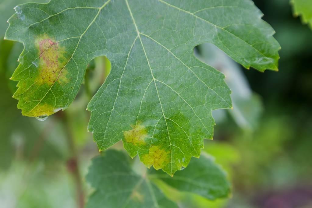 Из-за чего на винограде появляются черные точки?