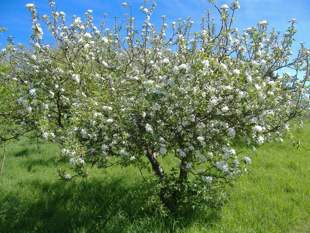Ботаническое описание и характеристика вишни