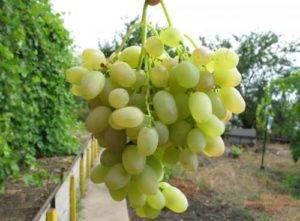 Виноград княгиня ольга: описание сорта, характеристики, особенности выращивания, болезни и вредители, и фото