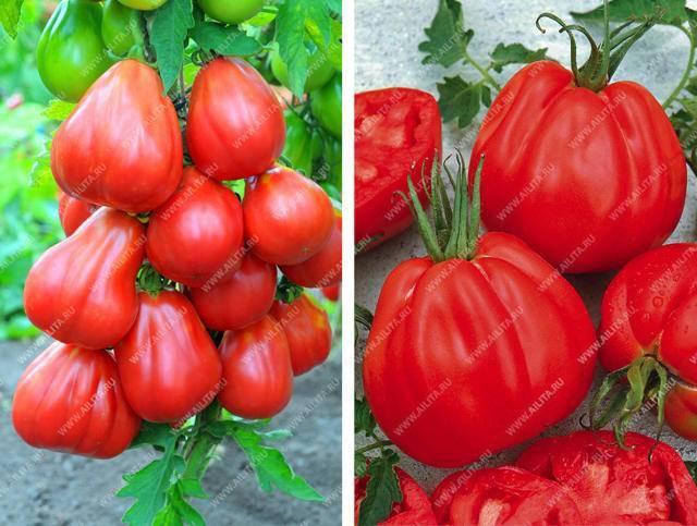 Топ популярных и урожайных сортов томатов