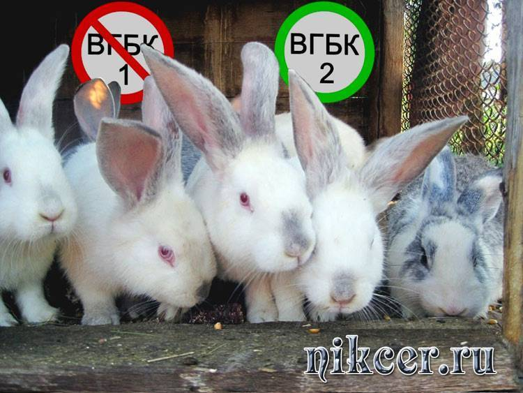 Вирусная геморрагическая болезнь кроликов: фото, симптомы, вакцинация, лечение