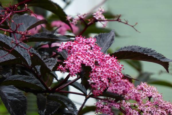 Бузина черная: «целебный самбук» — посадка, выращивание и уход, размножение