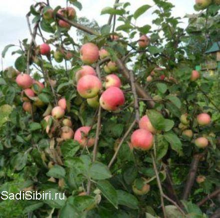 Агротехника выращивания яблони «орловим»