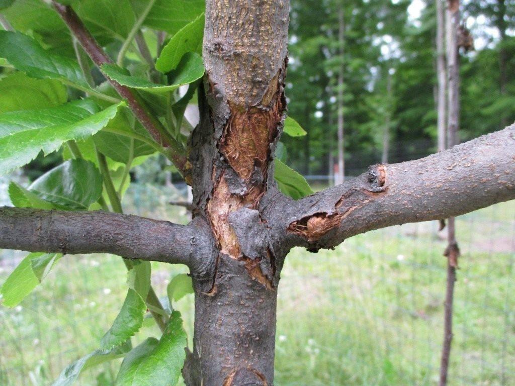 Как появляется плодовая гниль яблони? меры борьбы от специалистов