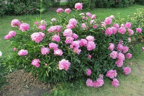 Древовидный пион - уход и выращивание, размножение, посадка