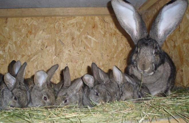Крольчиха не кормит крольчат