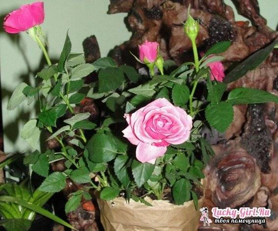 Роза микс: описание, посадка, советы по уходу в домашних условиях