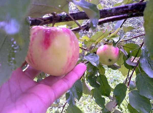 Характеристика сортов яблони по основным хозяйственно-биологическим признакам   плодовый сад