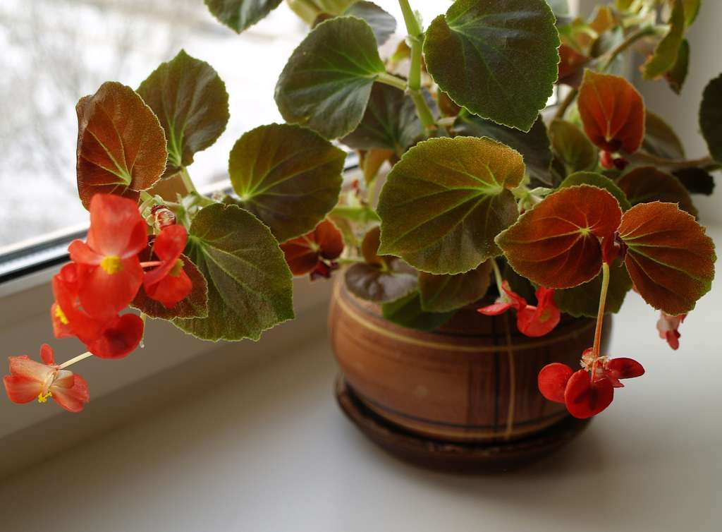 Почему абрикос цветет, но не плодоносит, причины и что с этим делать