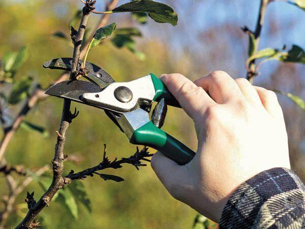 Школа садовода: все виды обрезки деревьев