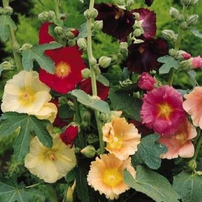 Мальва многолетняя. фото | сажаем сад