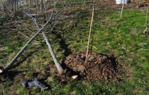 Как и когда пересадить яблоню весной на новое место