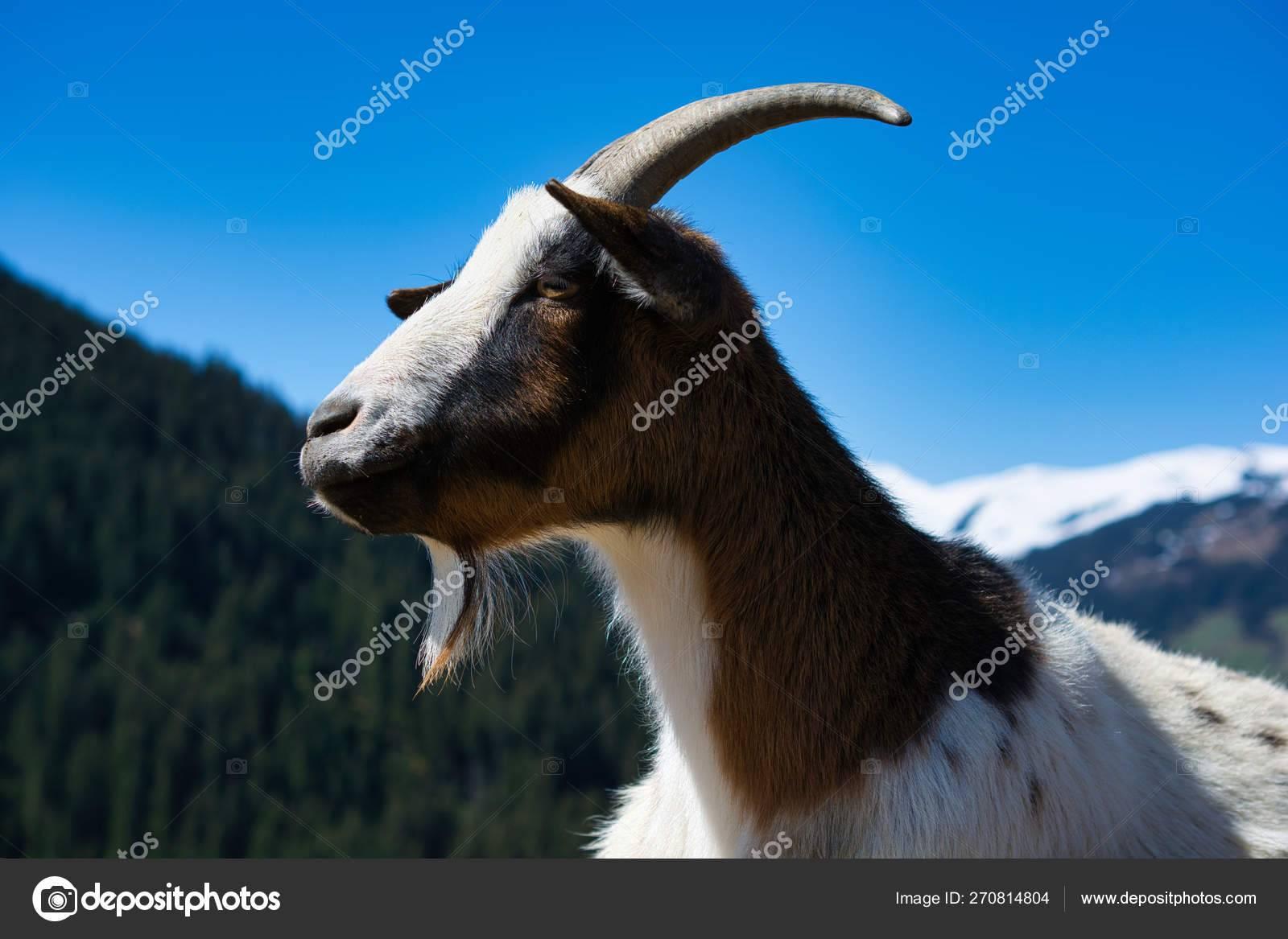 Альпийские козы: описание и содержание породы