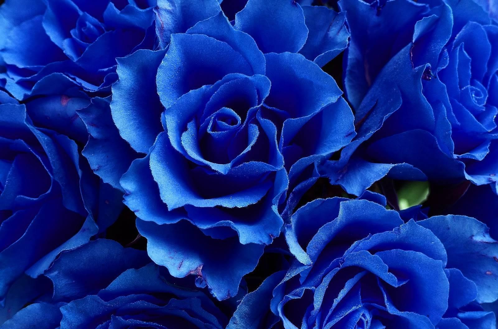Роза синяя: фото, бывают ли они в природе, какие существуют способы получить такой цветок, в том числе как его вырастить дома и что сделать, чтобы покрасить?