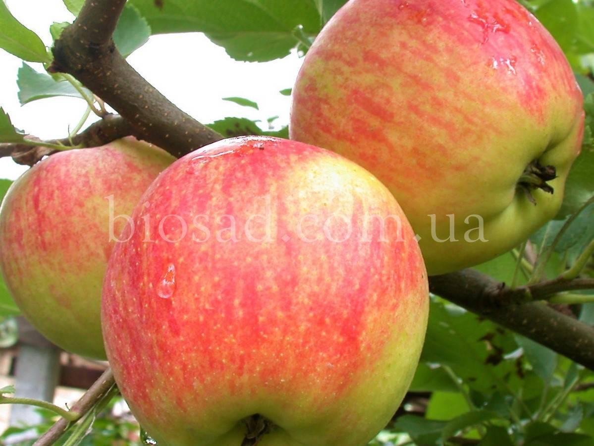 Сорт яблони чемпион – описание, фото